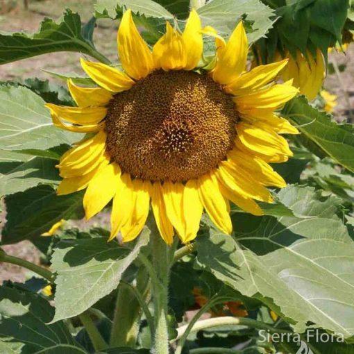 Sunflower-Sunspot-Dwarf-Ad