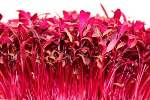 Amaranth Red Garnet seeds