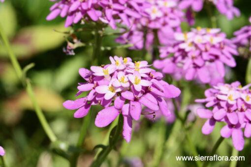 Candytuft Globe Annual seeds
