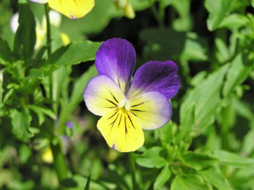 Violet Helen Mount flower seeds